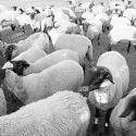 A Conversation with an Unhappy Sheep