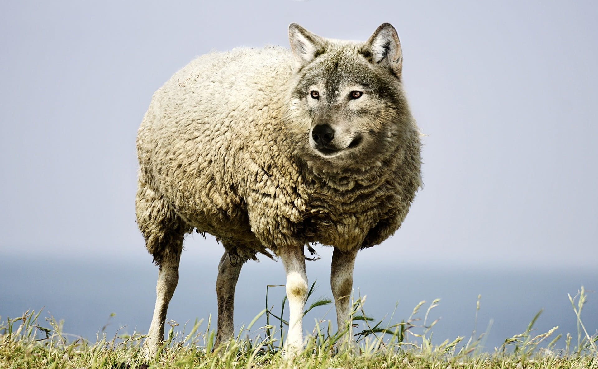 5 Ways To Recognize A Wolf In Sheeps Clothing