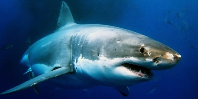 """""""Shark Week"""" and the World's Most Dangerous Work"""