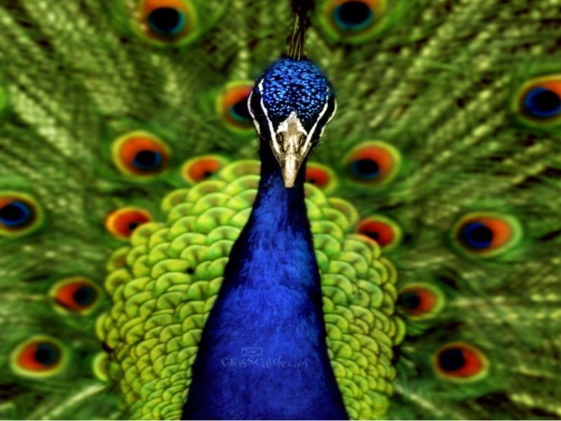 Peacock  mobile phone wallpaper