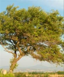 Why Jesus Compared Unforgiveness To the Sycamine Tree