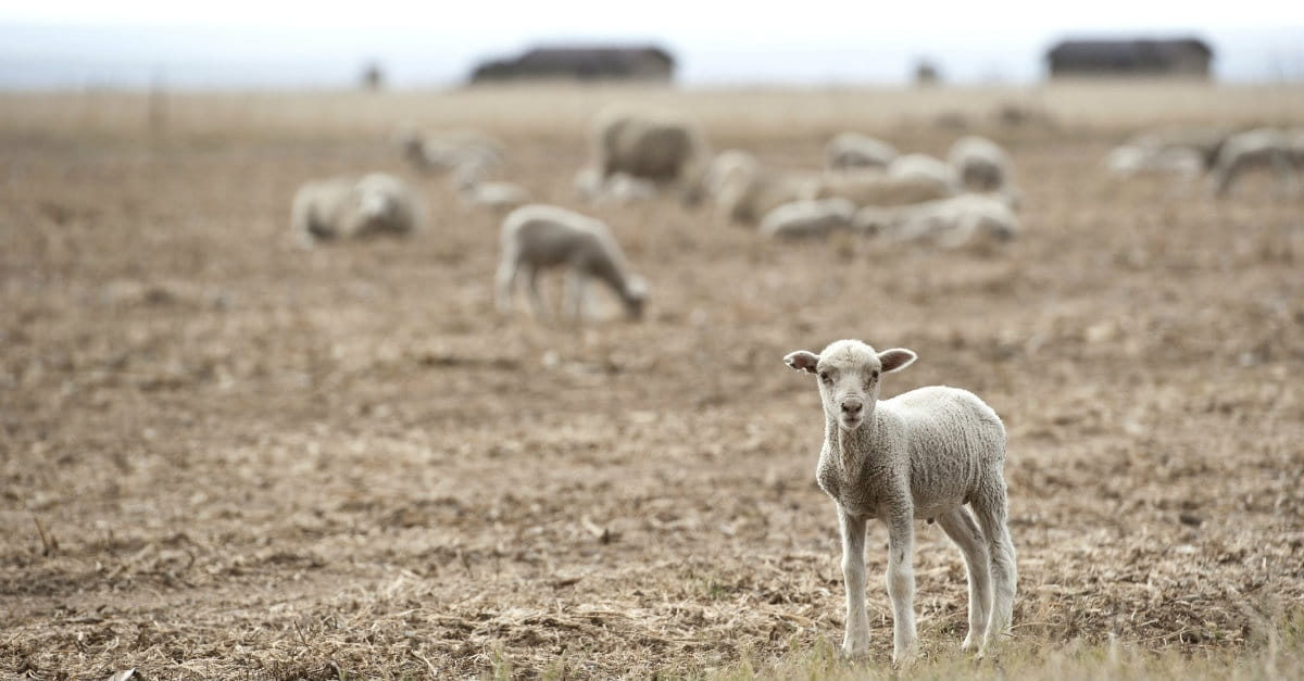 Parable of the Lost Sheep - Bible Story, Verses and Meaning