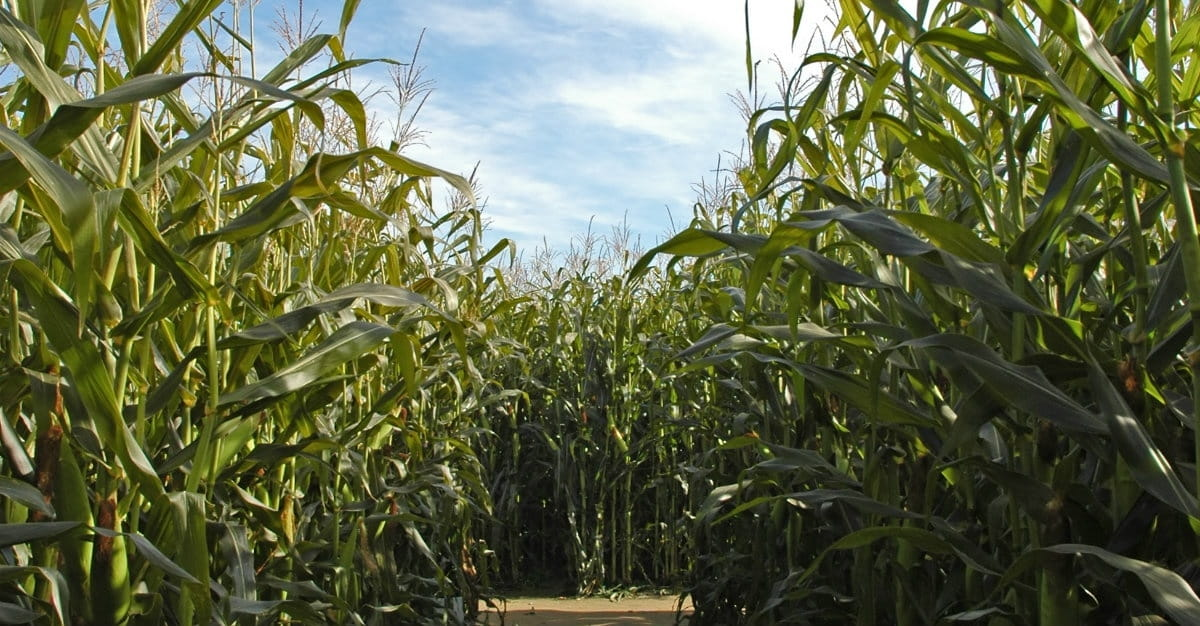 Lessons Learned in a Corn Maze
