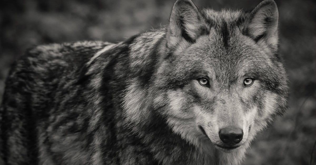 Beware of Broken Wolves