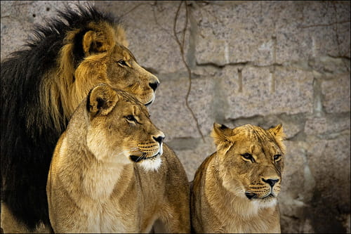 Daniel in the Lion's Den - Bible Story Verses & Meaning