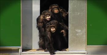 Chimps In Captivity For Years Finally See The Sun