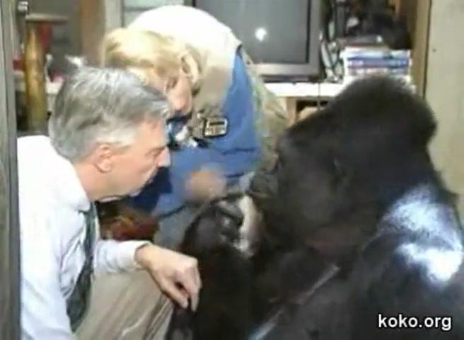 Talking Gorillia Tells Mr Rogers She Loves Him Cute Videos