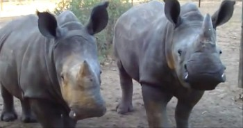 THIS is What a Rhino Sounds Like? God's Creatures are the Coolest