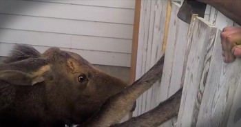 Dramatic Rescue of a Baby Moose Caught in a Fence