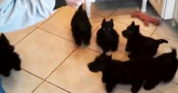 These Scottie Pups Should Really Consider Synchronized Swimming