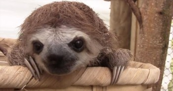 Baby Sloths Make the Most ADORABLE Sounds