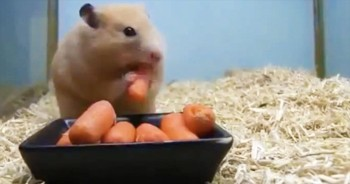 How Fast Can 1 Tiny Hamster Eat 5 Carrots?