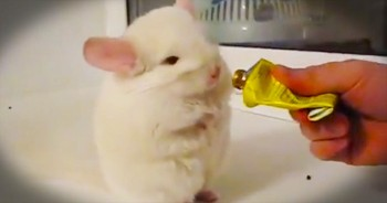 You'll Love What This Chinchilla Does For A Treat - So Funny!