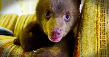 They Found Her Hugging Her Dead Mother's Body. Now, This Bear Cub Is Being Hand-Raised Back To Health
