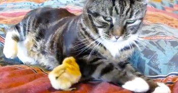 This Kitty Is NOT A Fan Of This Chipper Chick – So Cute!