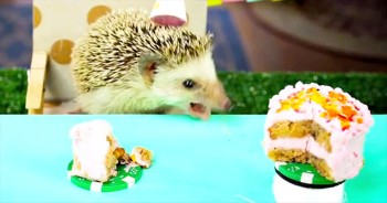 This Tiny Hedgehog Is Having One BIG Birthday Celebration - This Is Too Adorable For Words!
