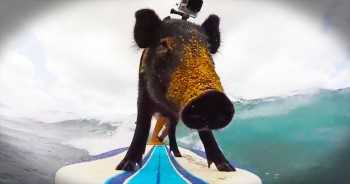 I've Seen Surfing Dogs, But This PIG Just Blew Them All Away!