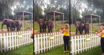 These Elephants Sure Do Appreciate Classical Music. Serious Cuteness Overload!