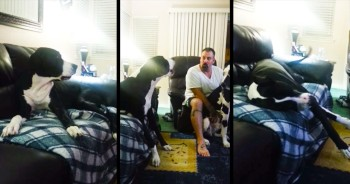 I've Never Called A Temper Tantrum Cute – Until I Saw This Great Dane And His 'Lovies.' LOL!
