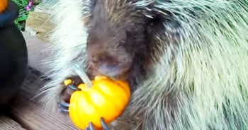 This Porcupine Is REALLY Enjoying His Fall Treat. Just Listen To Those Adorable Sounds!