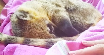 This Precious Coati Just Wants MORE Snuggles. And I Think I've Found My New Favorite Animal!