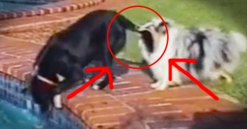 These 2 Dogs Know About TEAMWORK! Just See What Happens When Their Ball Falls Into The Pool!