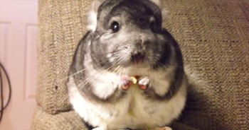 Apparently, This Chinchilla Was A Little Hungry. And It's Completely ADORABLE!