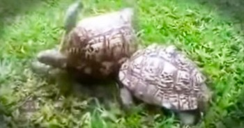 These 2 Turtles Just Gave Us A Beautiful Reminder As To What TRUE Friendship Really Means. WOW!