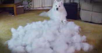 Owner Brushes Enough Fur Off Dog To Make Another. LOL!