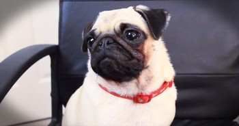 Owner Is Surprised To Find Adorable Pug Playing Minecraft