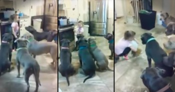 Adorable 4-Year-Old Feeds 6 Pit Bulls