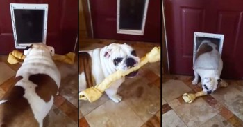 Determined Bulldog Tries To Fit Bone Through Doggy Dog