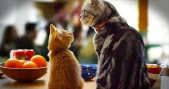 Wise Cat Explains The Super Bowl To New Kitty