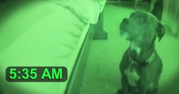 Adorable Pitbull Wakes Owner Up In The Funniest Way
