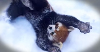 Red Pandas Have Tons Of Fun In The Snow