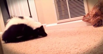 Pet Skunk Has Adorable Playtime With Favorite Toy