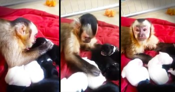 Monkey Loves His New Puppy BFFs