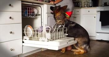 German Shepherd Helps Load The Dishwasher