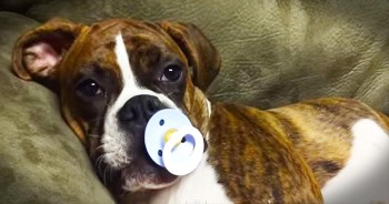 Boxer Falls Asleep With Pacifier
