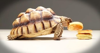 Tortoises Enjoy Breakfast Treat In The Most Adorable Way