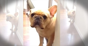 French Bulldog Has A Guilty Conscience After Chewing Up Pen