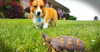 Slow Turtle Startles Corgi
