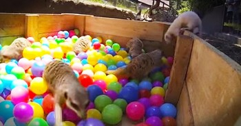 Meerkats Discover Ball Pit At Zoo