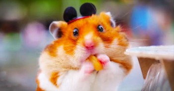 Tiny Hamster Has The BEST Day At Walt Disney World. So Many SMILES!