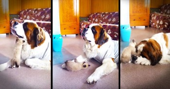 Precious Kitty Plays With Patient Pup. AWW!