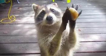 Funny Raccoon 'Knocks' On Door For More Food