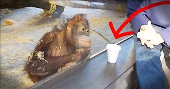 Orangutan Is Mesmerized By Magic Trick