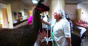 Llamas Brings Smiles To Nursing Home