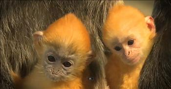 Baby Langurs At The Zoo Will Give You ALL The Feels!