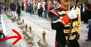 Parade Of Geese Will Give You ALL The Smiles